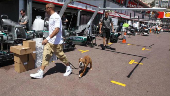 El perro de Hamilton es modelo y cobra 700 euros al día